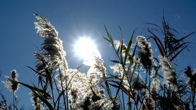 Seeing the sun and light flares through a row of moving reeds.