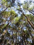 Seeing the sunny sky through pine tree park, northern of Thailan. Seeing the sunny sky through pleasant pine tree park, northern of Thailand Royalty Free Stock Photo