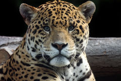 Seeing Through You. Stunning Jaguar staring at the viewer Stock Photography