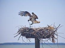 Seeinstinkt--Weiblicher Osprey fügt ihrem Nest hinzu Stockfotografie