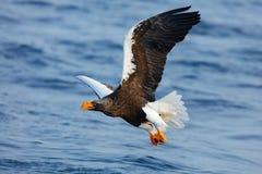 Seejäger Eagle-Fliegen über dem Meer Schöner Steller-` s See-Adler, Haliaeetus pelagicus, fliegender Raubvogel, mit blauem Meer-w Lizenzfreie Stockbilder