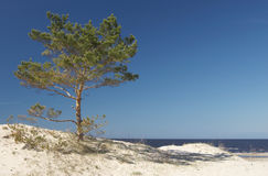 Seeküste und Kiefer lizenzfreies stockbild