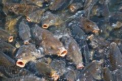 Seekarpfen Stockfoto