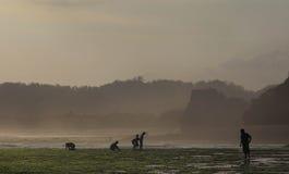 Seekers seaweed on the beach soemandeng kidul mountain. Stock Image