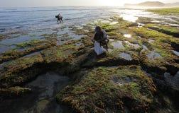Seekers seaweed on the beach soemandeng kidul mountain. Coastal landscape scenery mountain region kidul jogjakarta central java Indonesia. There are so many Stock Images