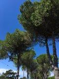Seekiefernwedel auf Hintergrund des blauen Himmels, Bibione, Italien lizenzfreie stockfotos