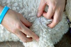 Seeking the dog flea. Two hands of woman are seeking the dog flea Stock Image