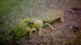 Seeklippe Upogebia-pusilla - Spezies von Krebstieren des Superfamily kalianasov stock footage