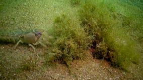 Seeklippe Upogebia-pusilla - Spezies von Krebstieren des Superfamily kalianasov stock video