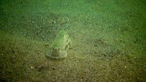 Seeklippe Upogebia-pusilla - Spezies von Krebstieren des Superfamily kalianasov stock video footage