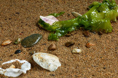 Seekohl auf Sand Lizenzfreie Stockfotografie