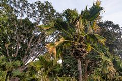 Seekokosnuß oder Lodoicea Maldivica lizenzfreie stockfotos