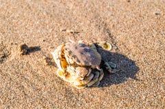 Seekrabbe auf Sandblickharmonie mit der Farbe des Sandes Stockbild