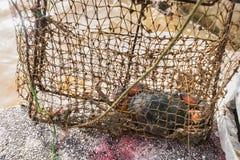 Seekrabben in der Falle von Fischern Stockfotos