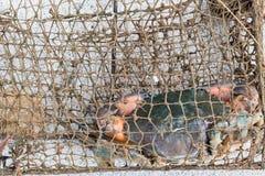 Seekrabben in der Falle von Fischern Stockbild