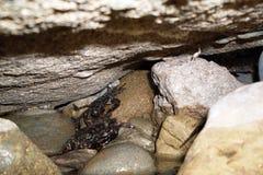 Seekrabben unter Steinen Stockfotografie