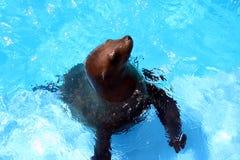 Seelöwe stockfoto