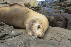 Seelöwe auf den Felsen, La Jolla, Kalifornien lizenzfreie stockbilder