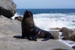 Seelöwe auf der felsigen Küste stockfoto