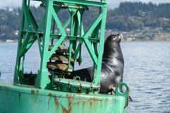 Seelöwe auf Navigationsboje stockfotos