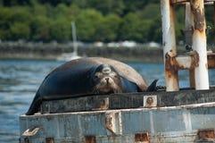 Seelöwe auf Navigationsboje stockbild