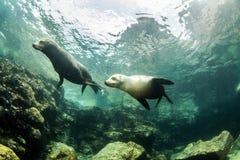 Seelöwe bei La Paz, Mexiko lizenzfreie stockfotografie