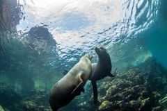 Seelöwe bei La Paz, Mexiko stockfoto