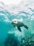 Seelöwe bei La Paz, Mexiko Lizenzfreies Stockfoto