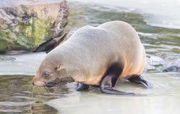 Seelöwe, der auf dem Eis isst Stockfoto