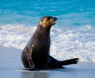 Seelöwe, der auf dem Sand sitzt Die Galapagos-Inseln Der Pazifische Ozean ecuador Stockfotos