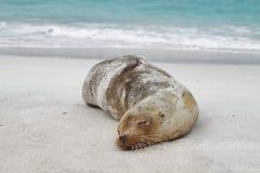 Seelöwe, der auf dem Sand stillsteht lizenzfreie stockbilder