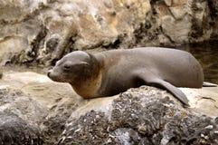 Seelöwe, der auf den Felsen sich aalt Lizenzfreies Stockbild