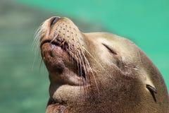 Seelöwe, der in der Sonne aufwirft! Lizenzfreies Stockfoto
