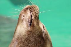 Seelöwe, der in der Sonne aufwirft! Stockfotos