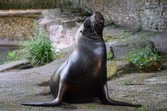 Seelöwe in der Gefangenschaft lizenzfreie stockbilder