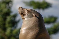 Seelöwe, der oben Schnauze zeigt stockfotografie