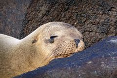 Seelöwe, der unter Felsen schläft Stockfotografie