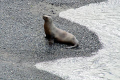 Seelöwe, der vom Wasser kommt Stockfotografie