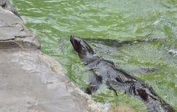 Seelöwe im Wasser Stockbild