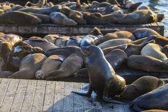 Seelöwe in San Francisco Lizenzfreies Stockbild