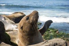 Seelöwe-Seehundbaby - Welpe auf dem Strand, La Jolla, Kalifornien Stockfotos