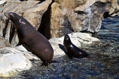 Seelöwe und ihr Welpe Lizenzfreie Stockfotografie