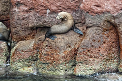 Seelöwe versiegelt die Entspannung Stockbilder