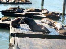 Seelöweküssen (San Francisco, USA) Stockbilder