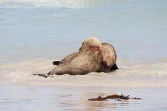 Seelöwen Stockfoto