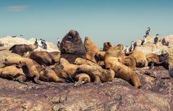 Seelöwen Stockfotografie