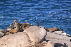 Seelöwen aalen sich in der Sonne auf den Felsen Lizenzfreies Stockfoto