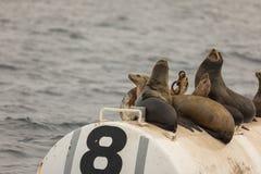 Seelöwen auf bouy Stockfotos