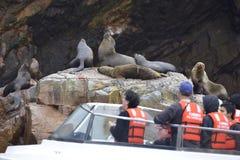 Seelöwen, Ballestas-Inseln, Peru stockbild