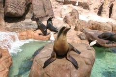 Seelöwen in der Gefangenschaft lizenzfreie stockfotografie